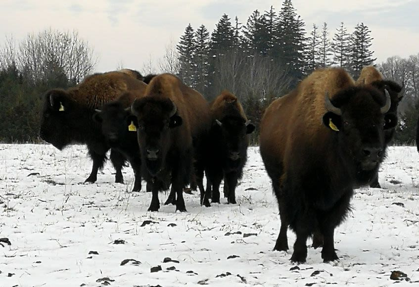 Our Bison Herd | Thunder Ridge Bison | Bison Farming in Ontario