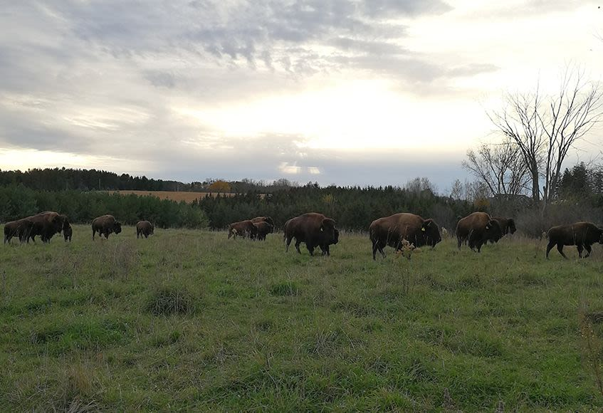 The Oak Ridges | Thunder Ridge Bison | Bison Farming in Ontario