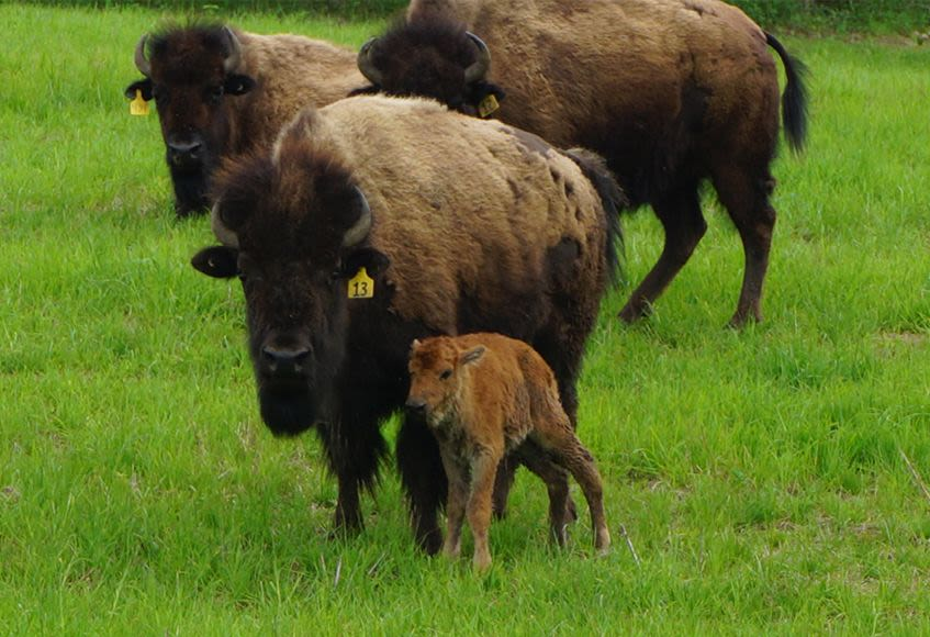 Bison Species | Thunder Ridge Bison | Bison Farming in Ontario