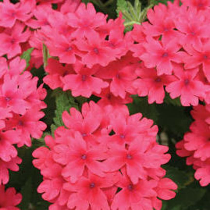 Verbena Superbena® Coral Red